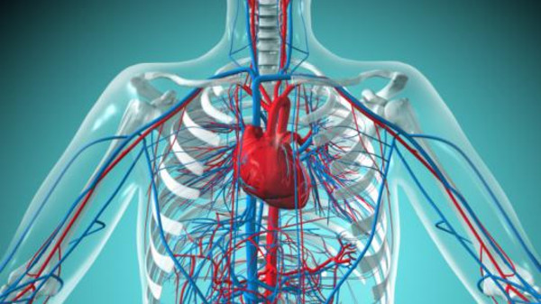 Heart and Circulatory System with Blood Vessels in a Biomedical Illustration
